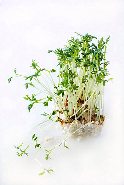 Bean sprouts 25927