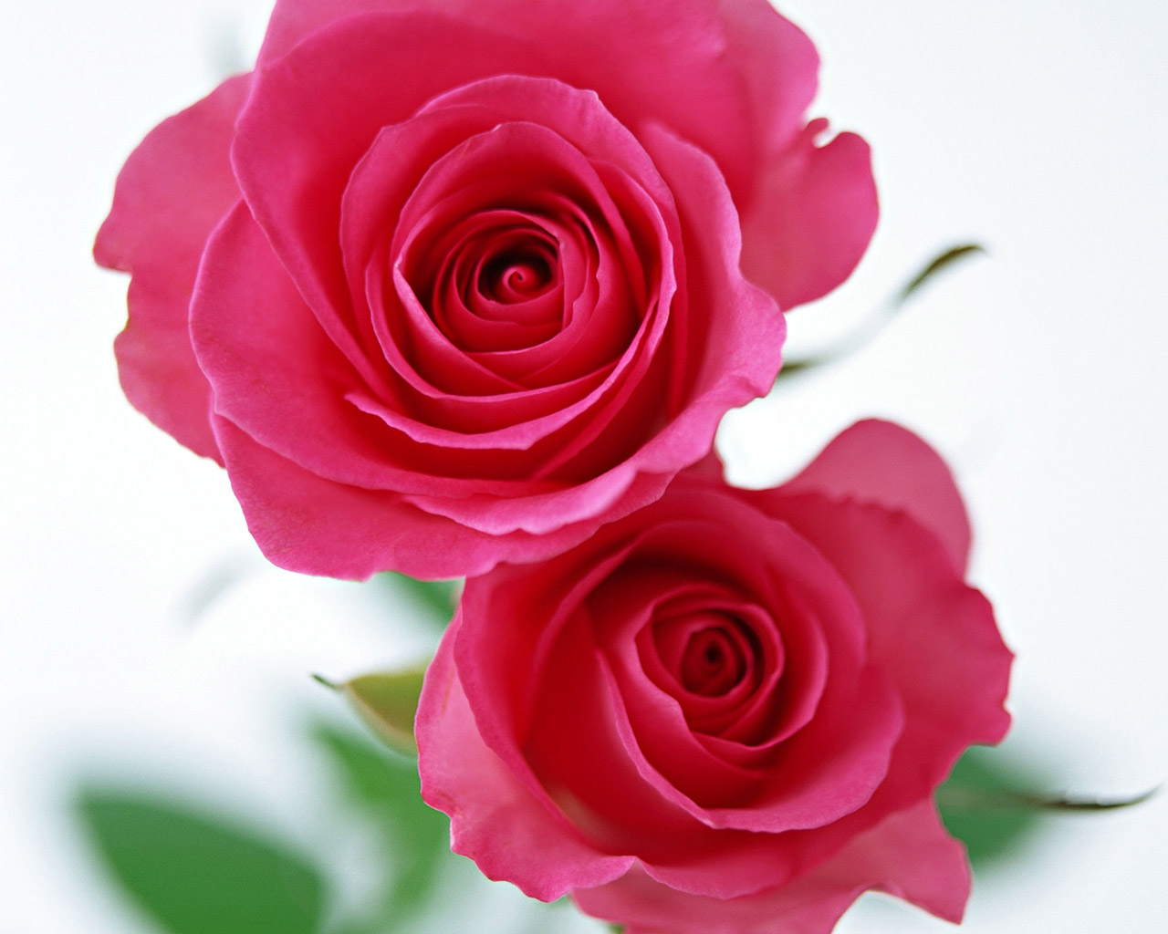 Rose Wallpaper 5112