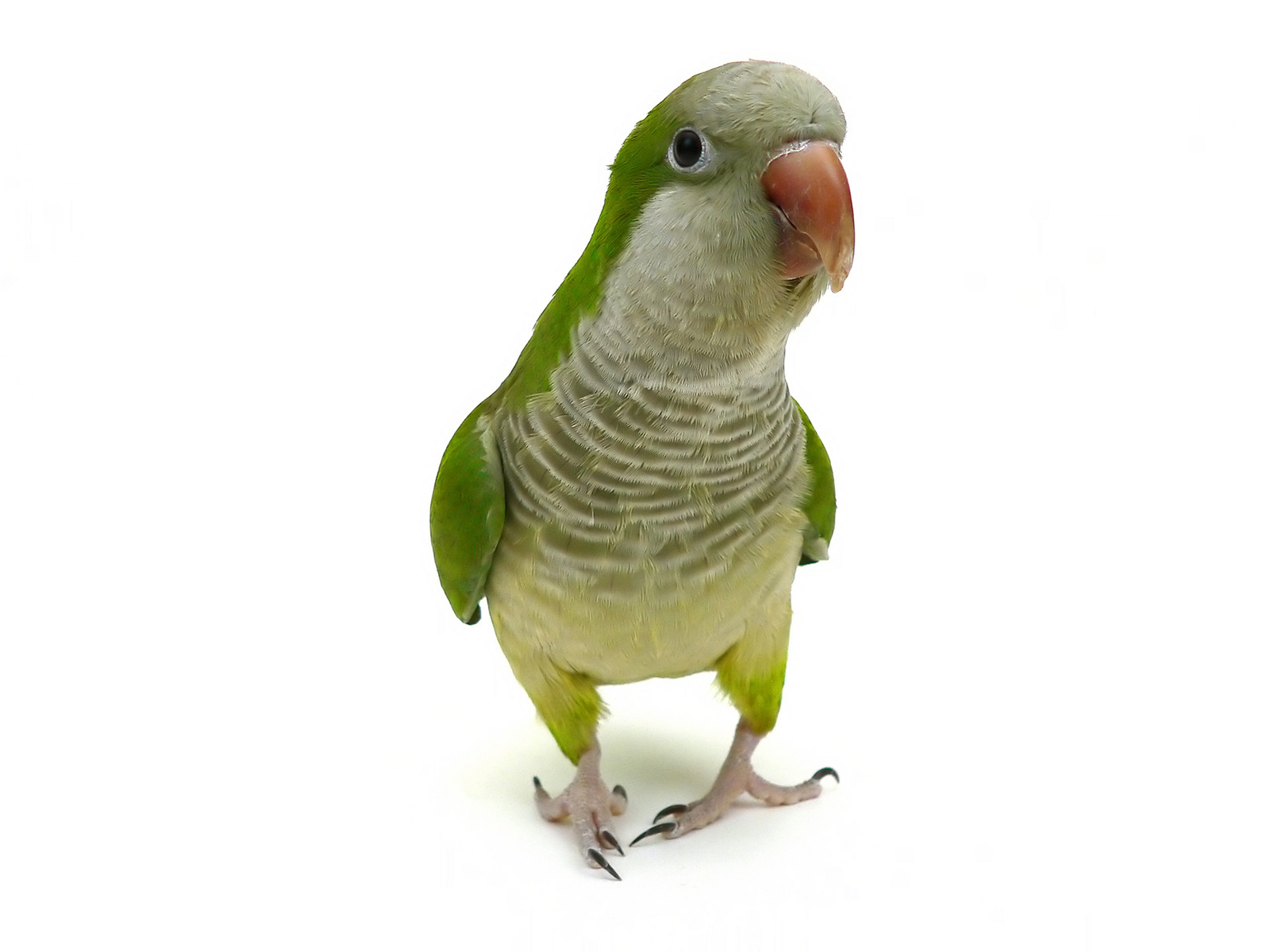 High-definition pictures parrot 17931