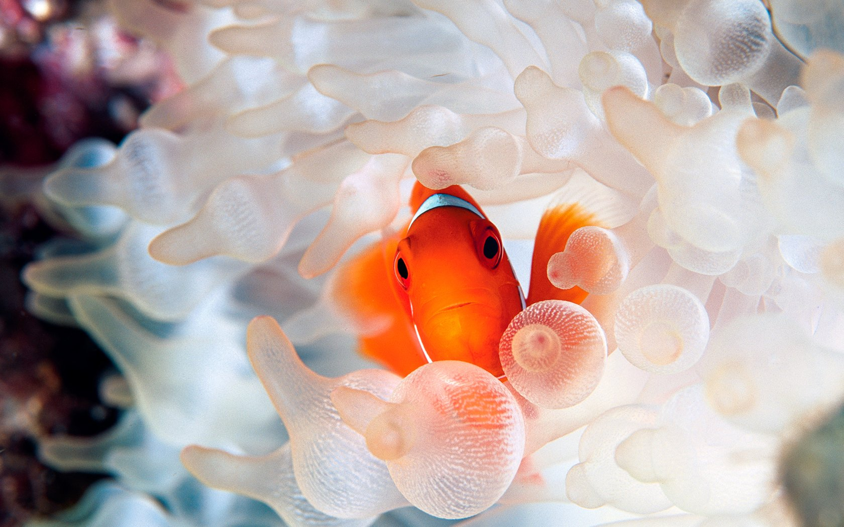 Clownfish and sea anemone tentacles wallpaper 15801