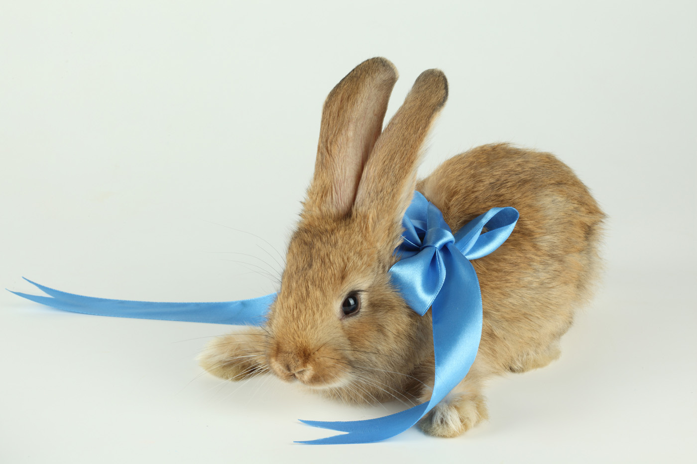 Cute rabbit with Ribbon 21121