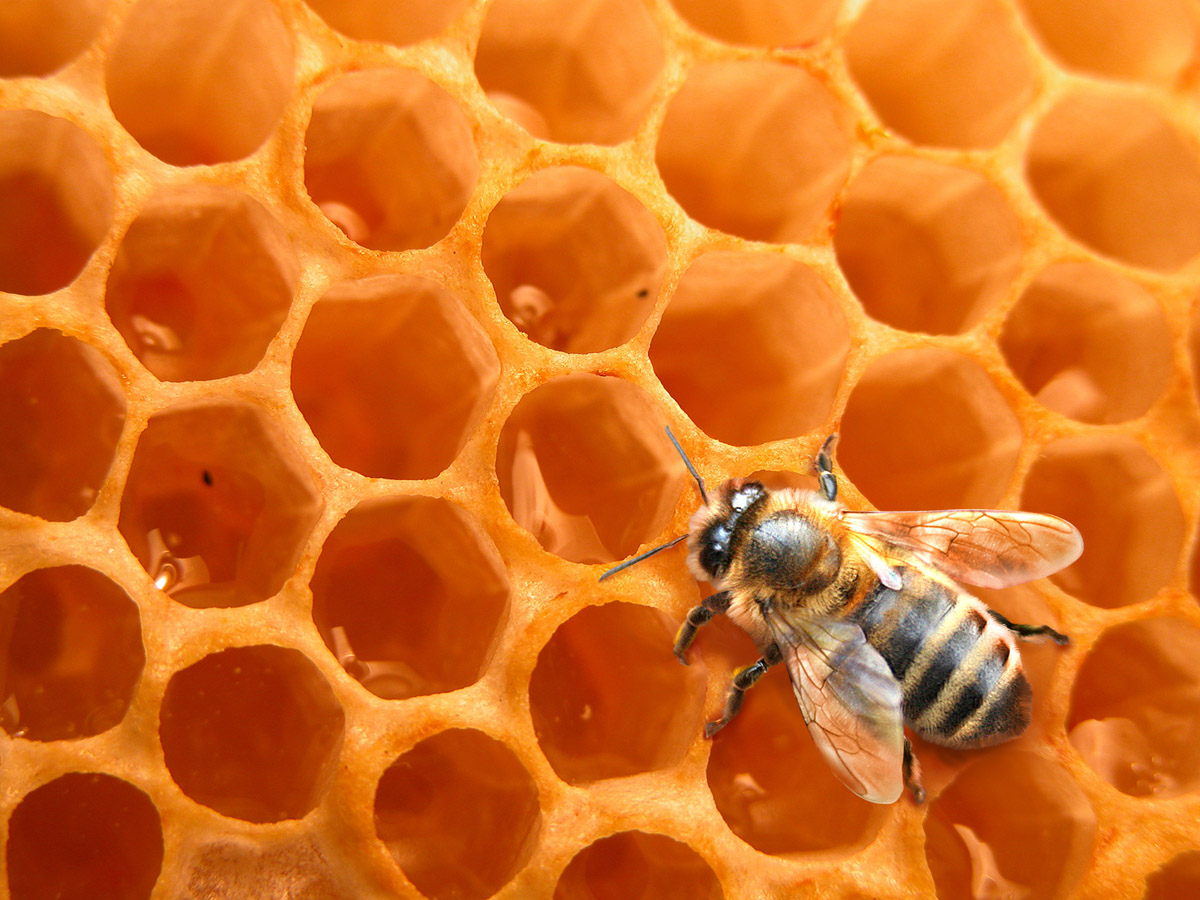Bees and honeycomb 21394