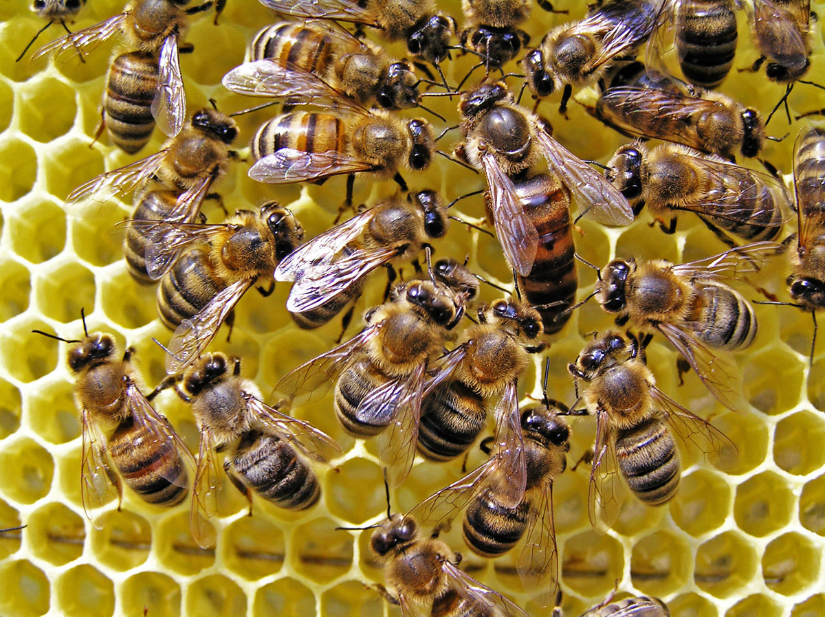 Bees and honeycomb 21496