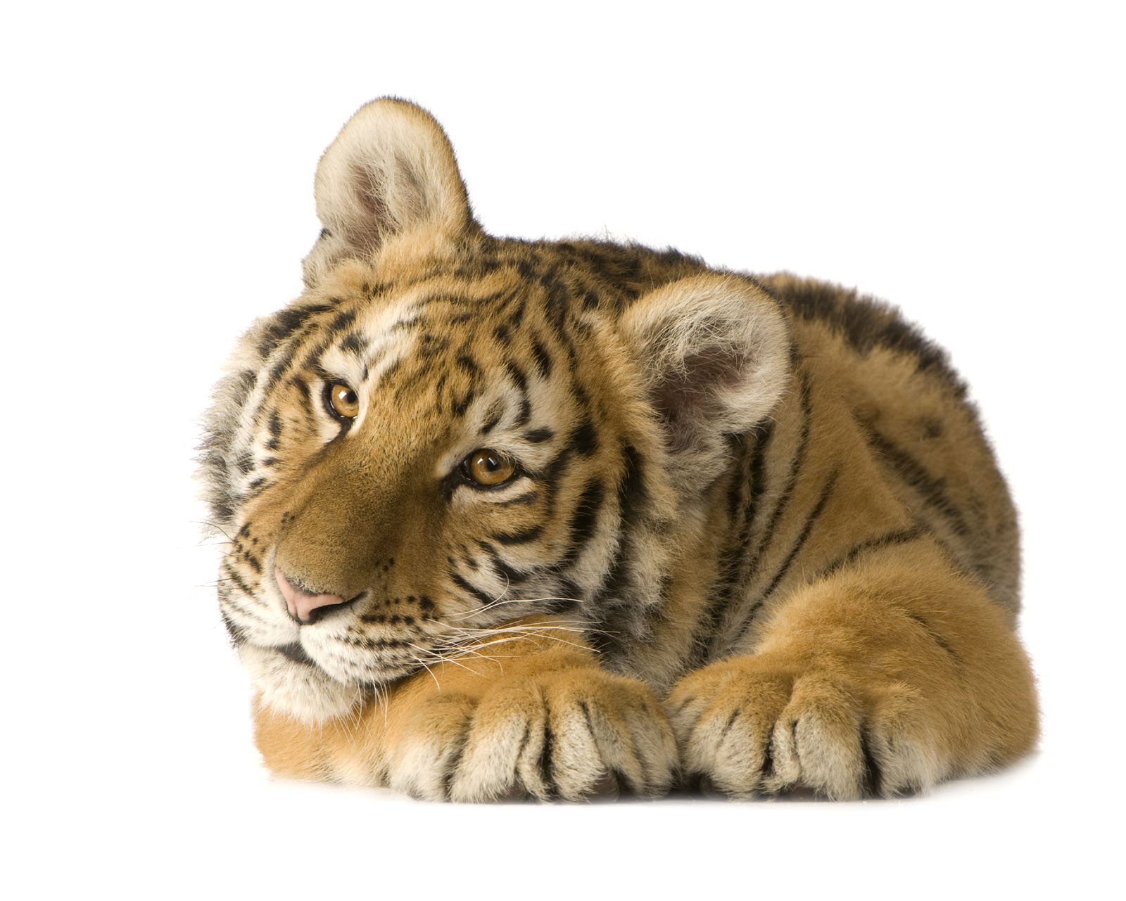 High-definition pictures tiger 1386