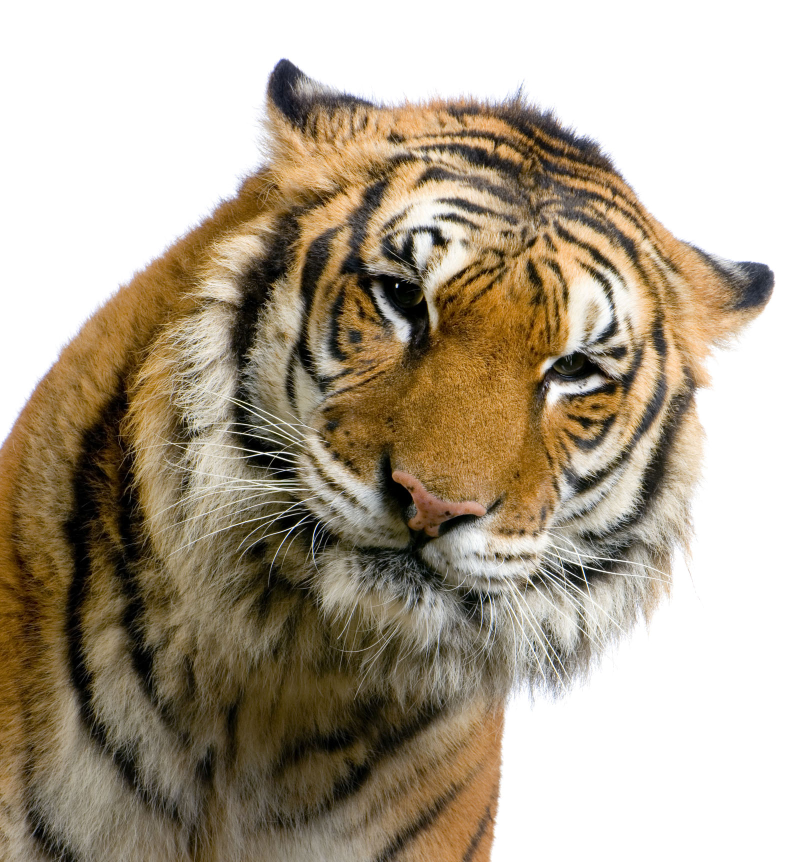 High-definition pictures tiger 2069