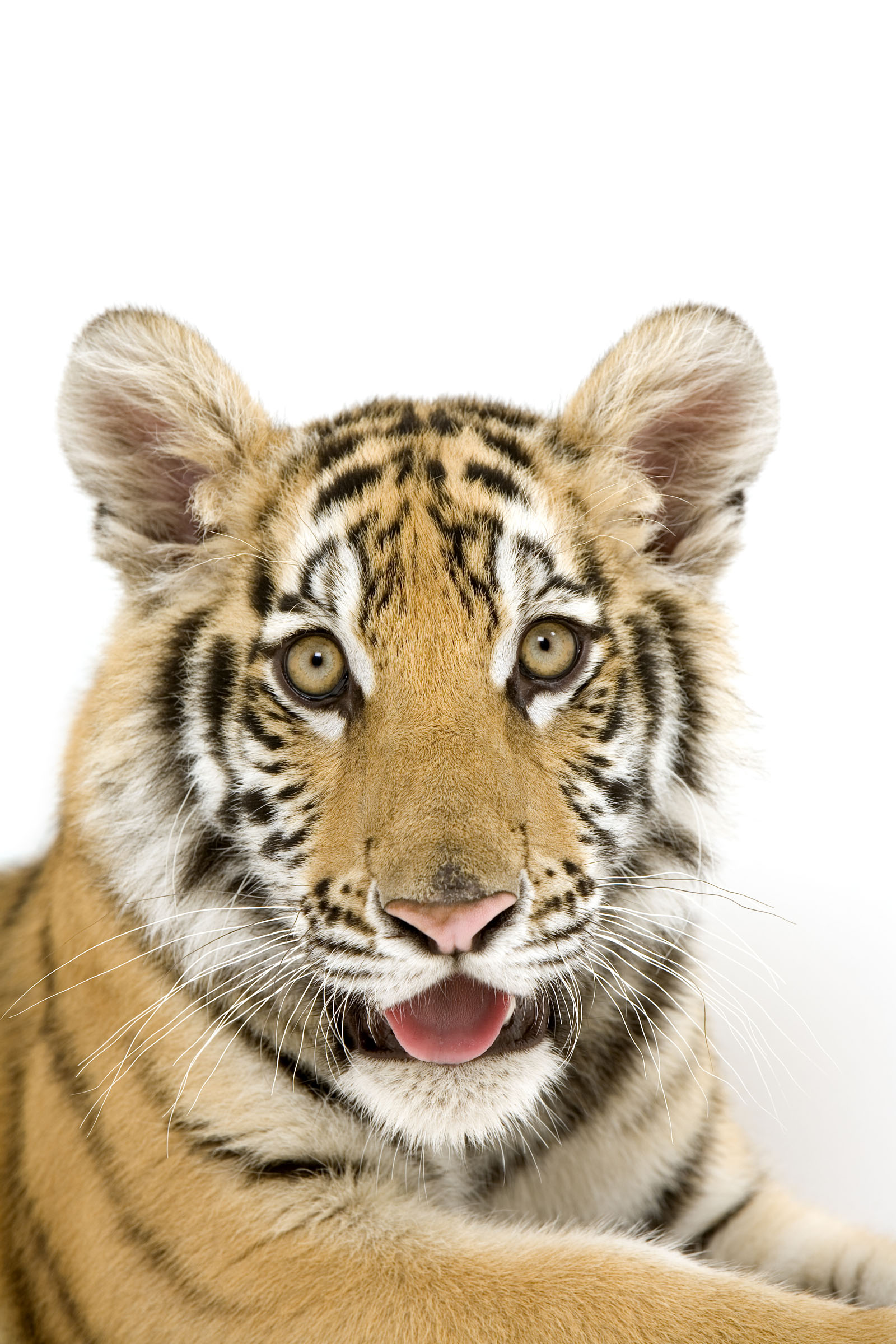 High-definition pictures tiger 2237
