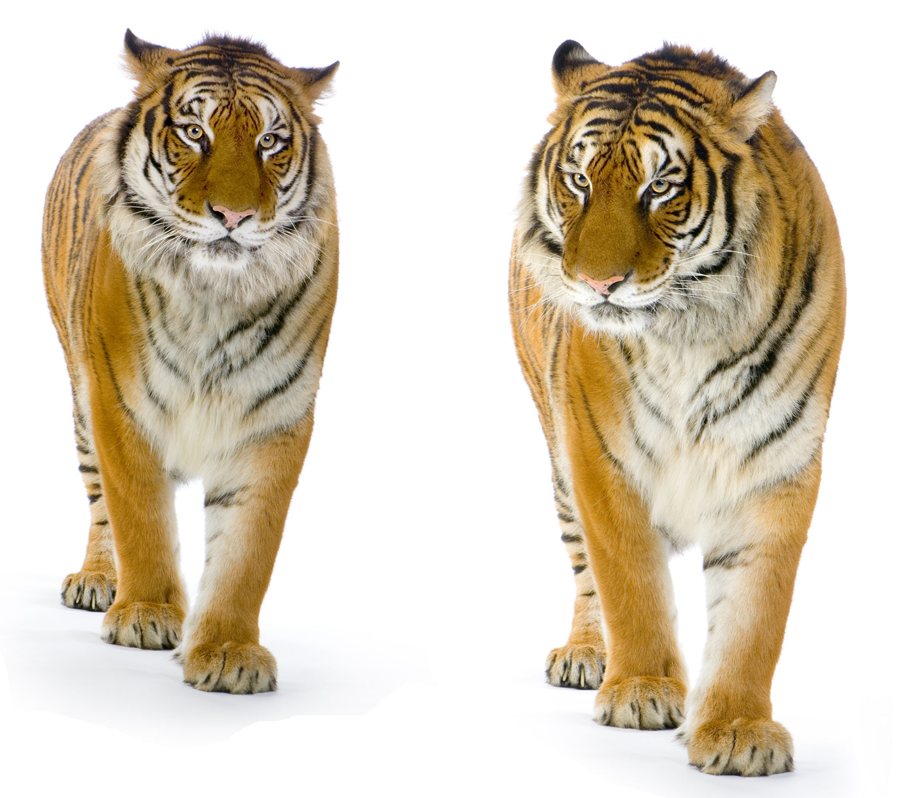 High-definition pictures tiger 2571