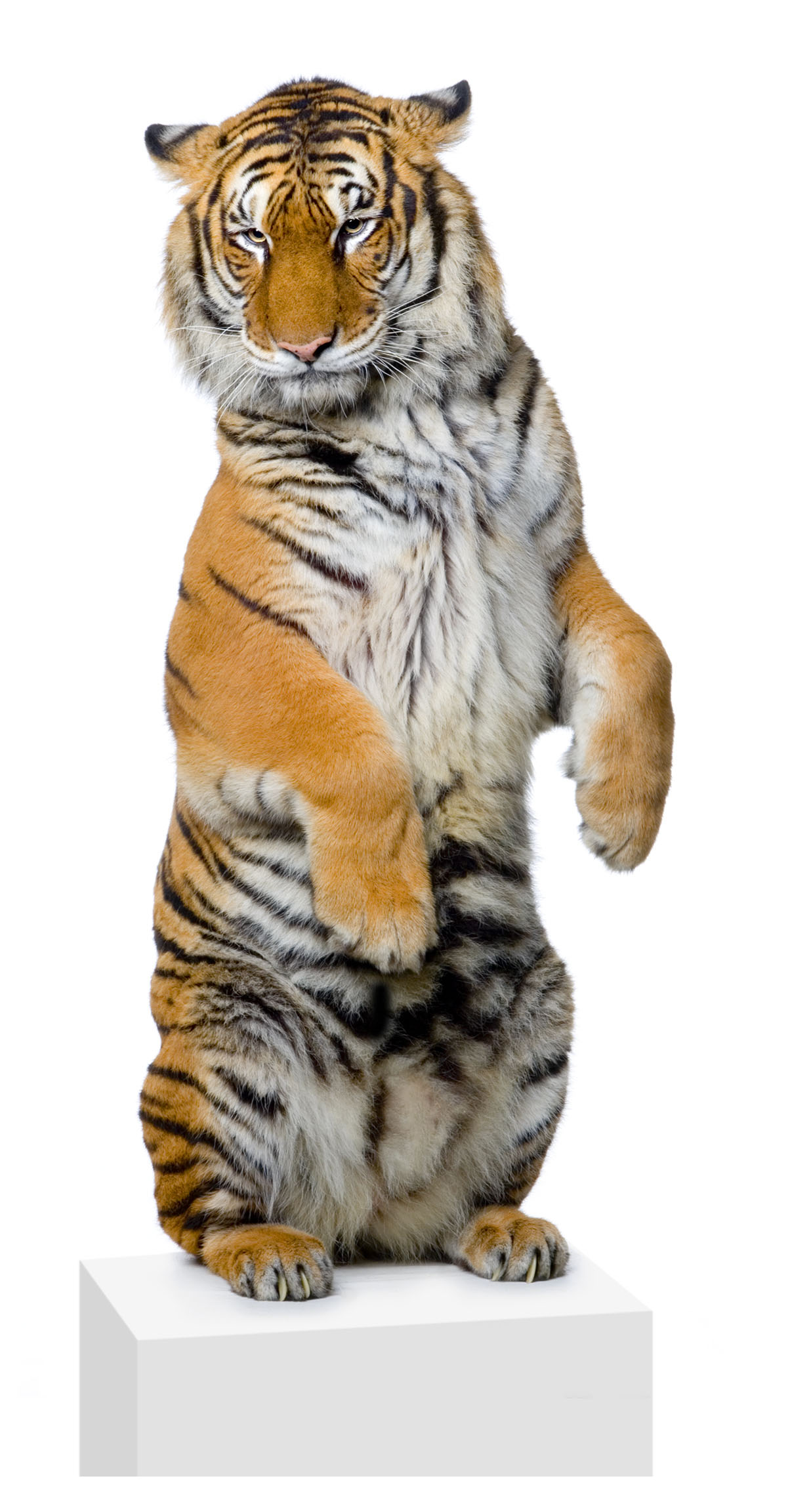 High-definition pictures tiger 3058