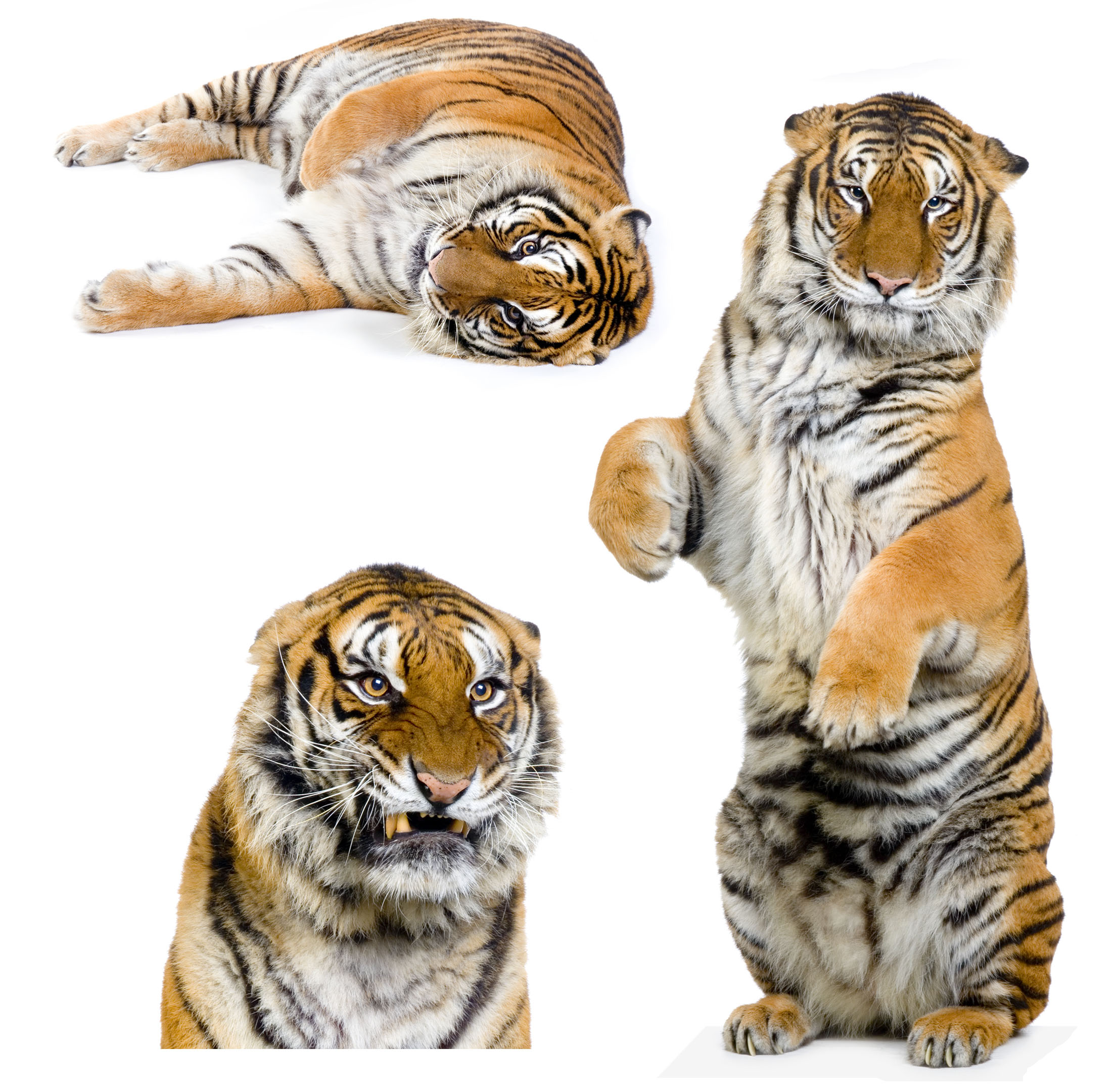 High-definition pictures tiger 3379