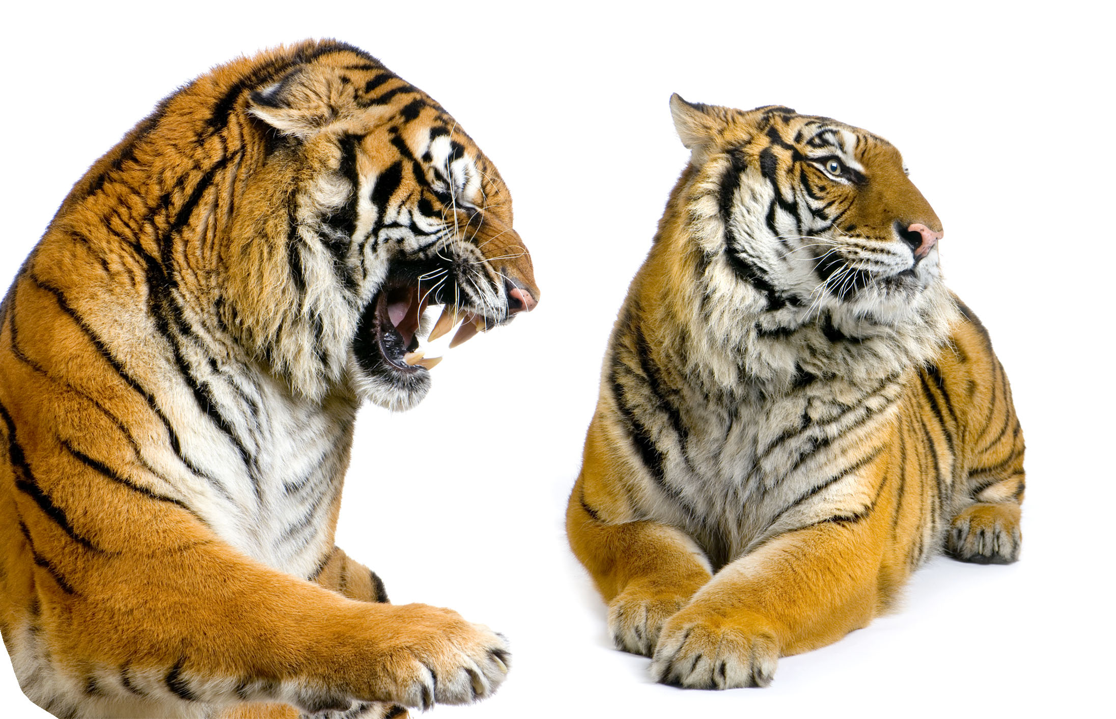 High-definition pictures tiger 3682