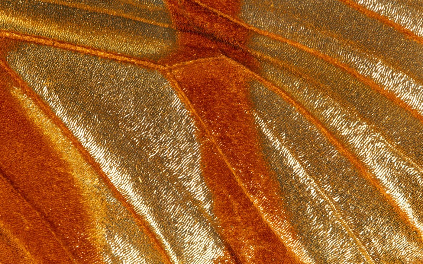 Feather wings close-up 1901