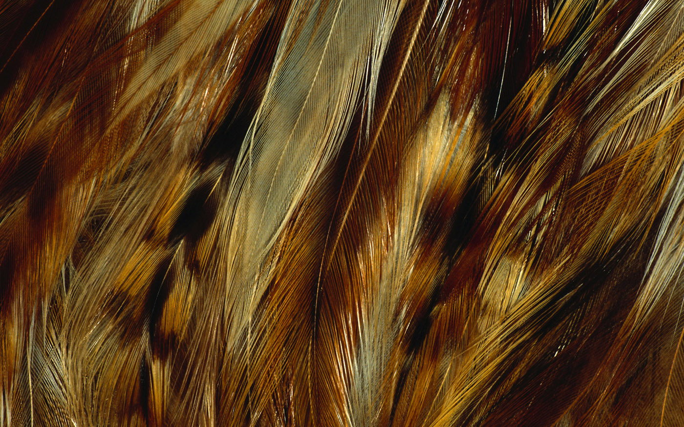 Feather wings close-up 29334