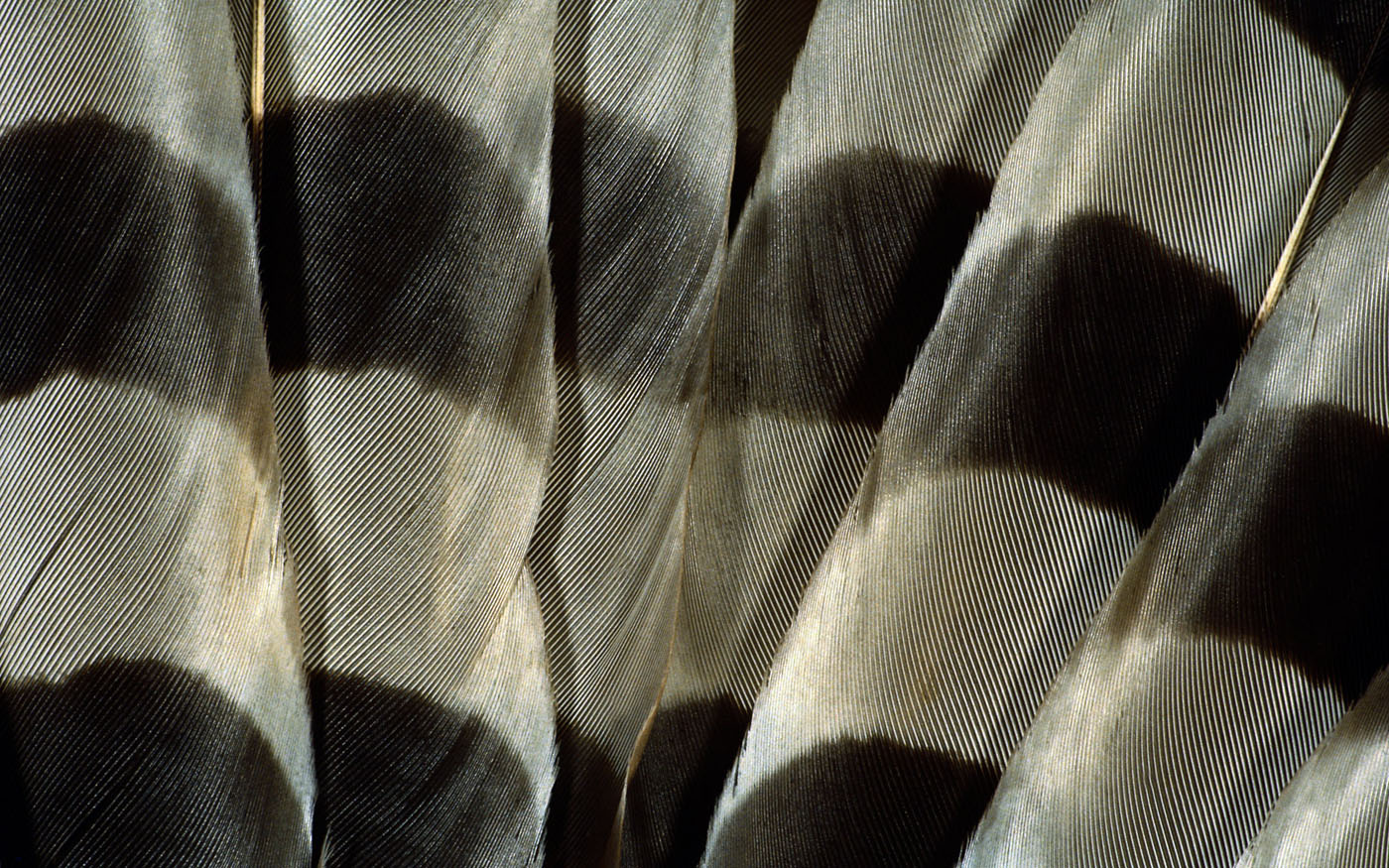 Feather wings close-up 29526
