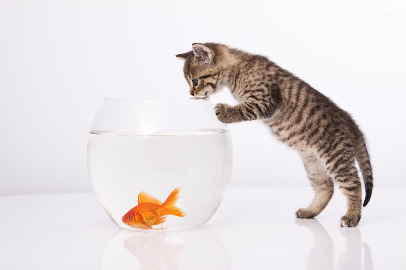 Cat and Goldfish 29169
