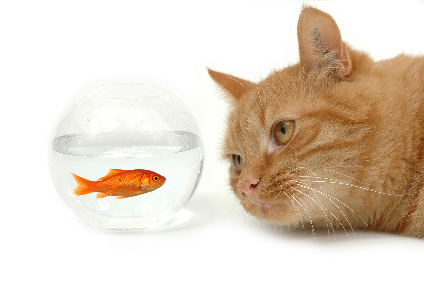 Cat and goldfish 3062