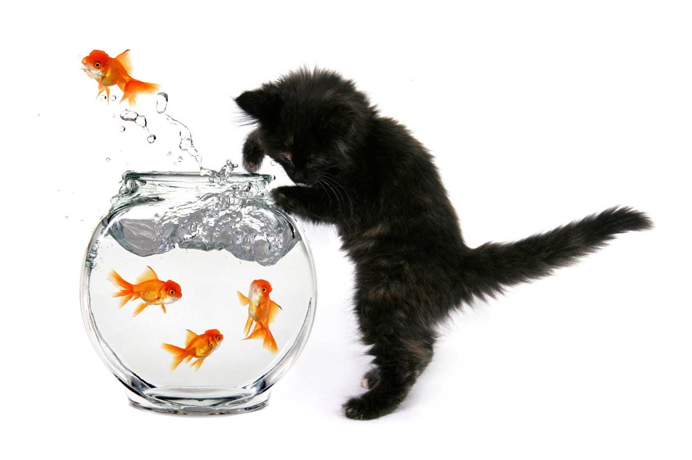 Cat and goldfish 3224