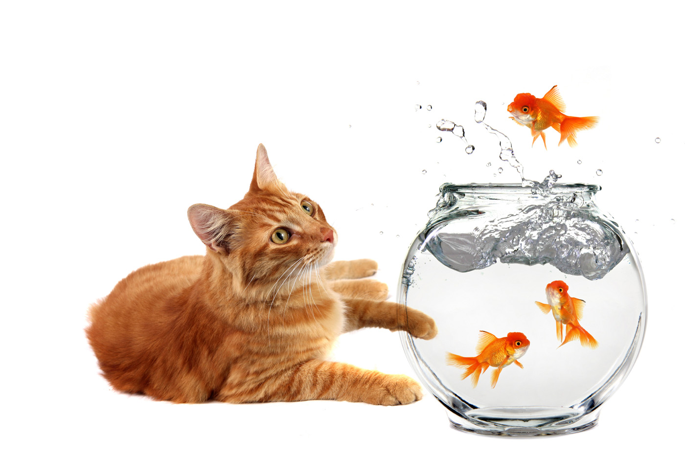Cat and goldfish 3383