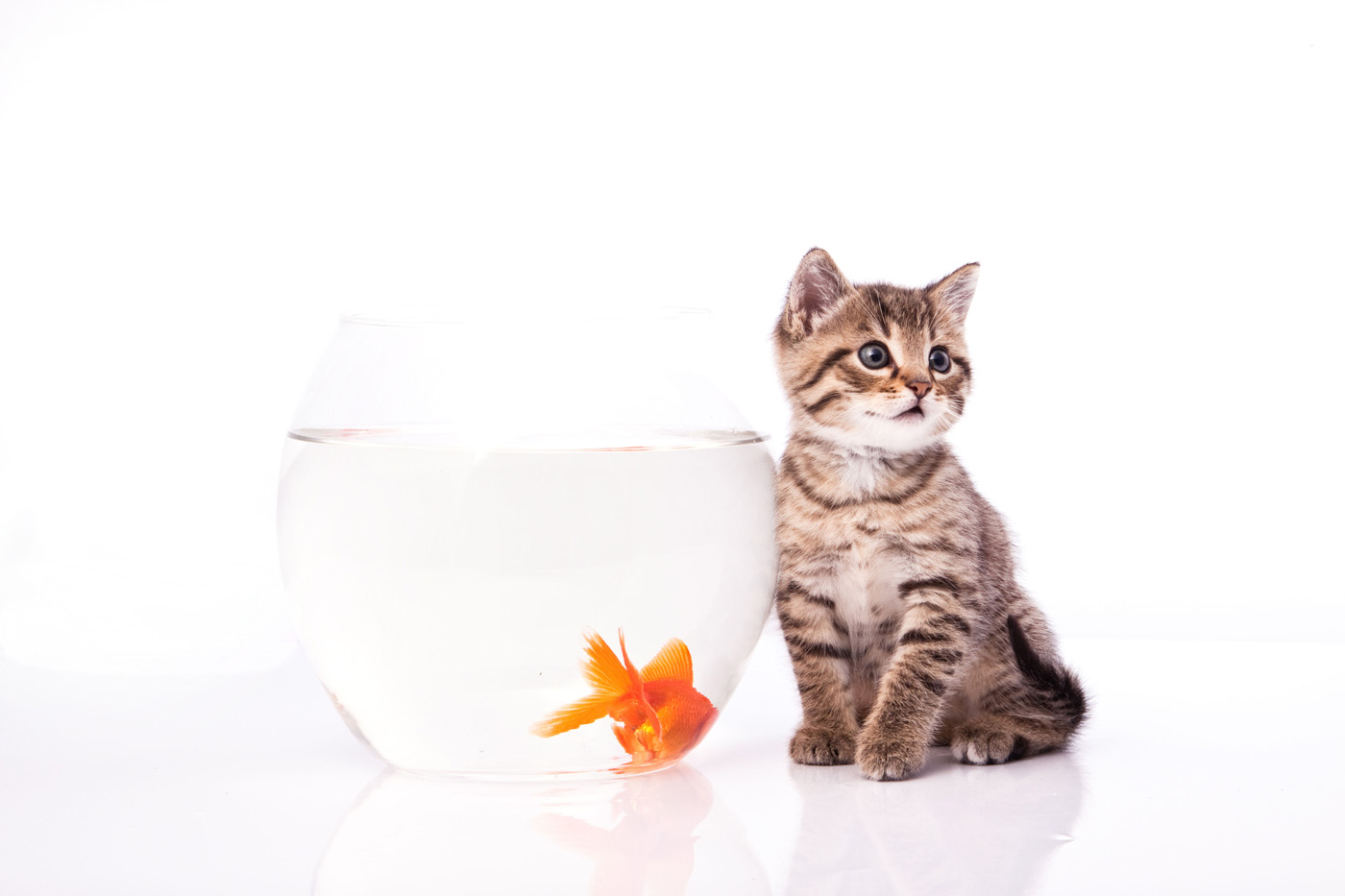 Cat and goldfish 3536