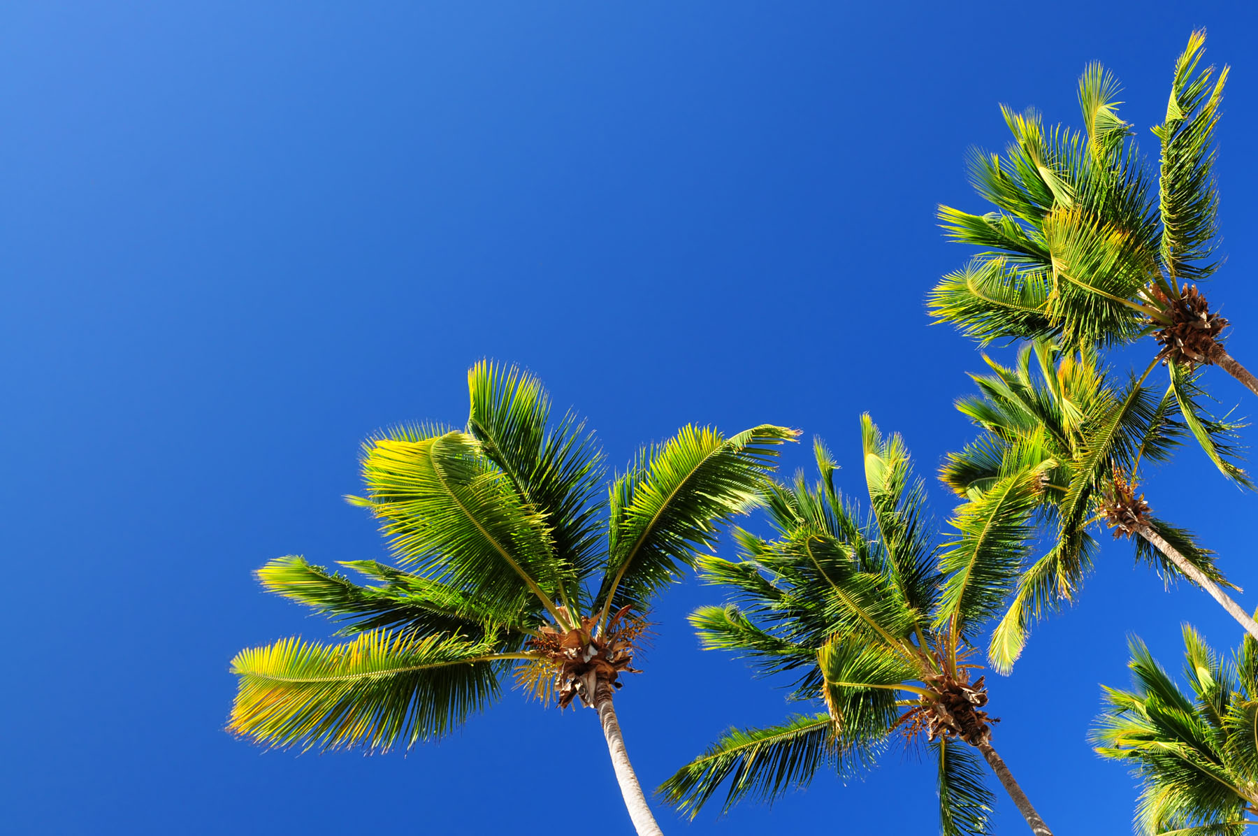 Coconut tree material 17204