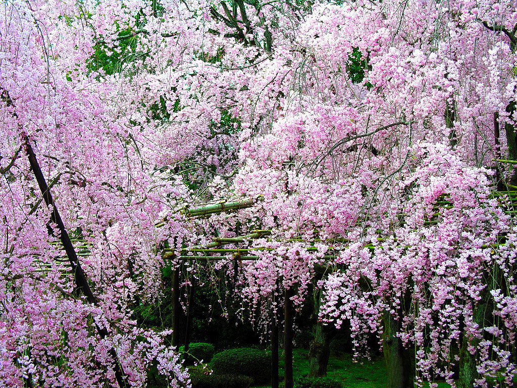 Romantic Cherry Blossom 1970