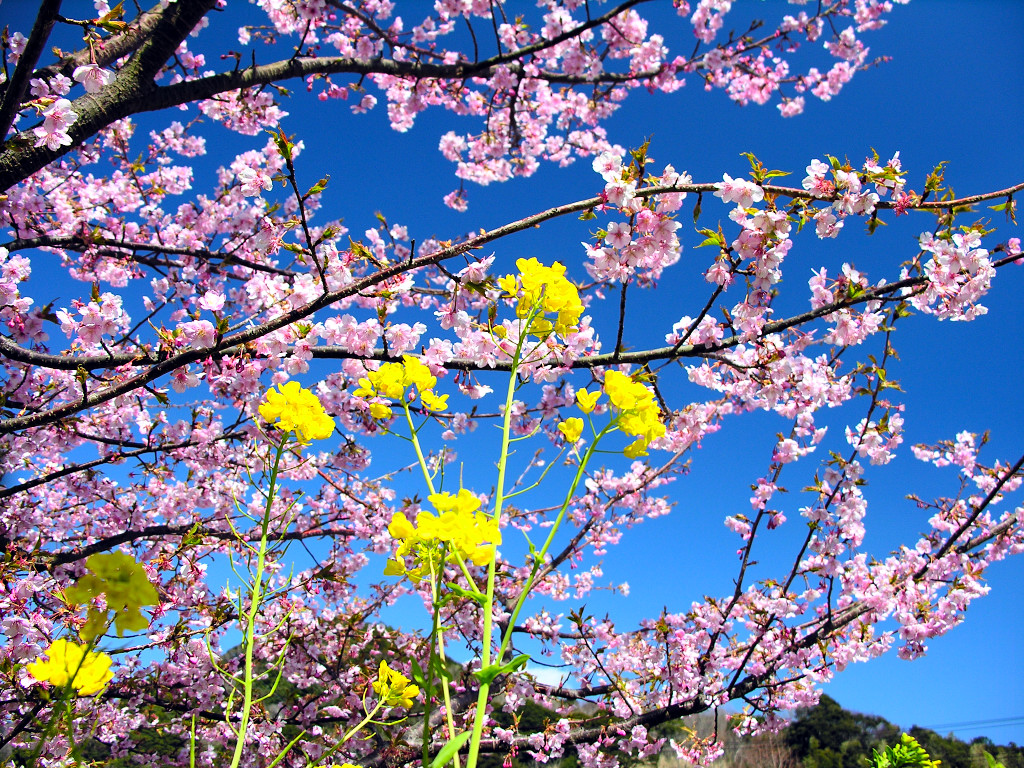 Romantic Cherry Blossom 2964