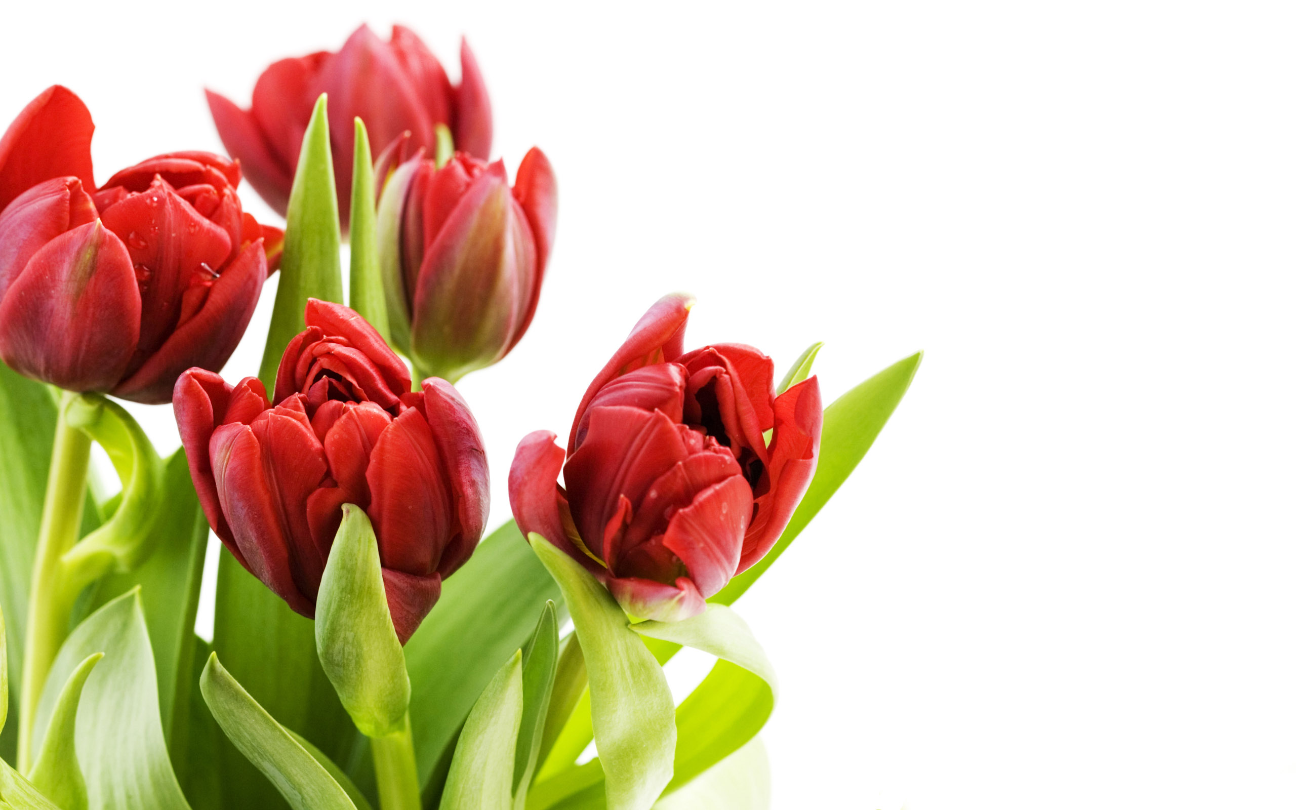 tulip   tulip  flowers, Beautiful flower
