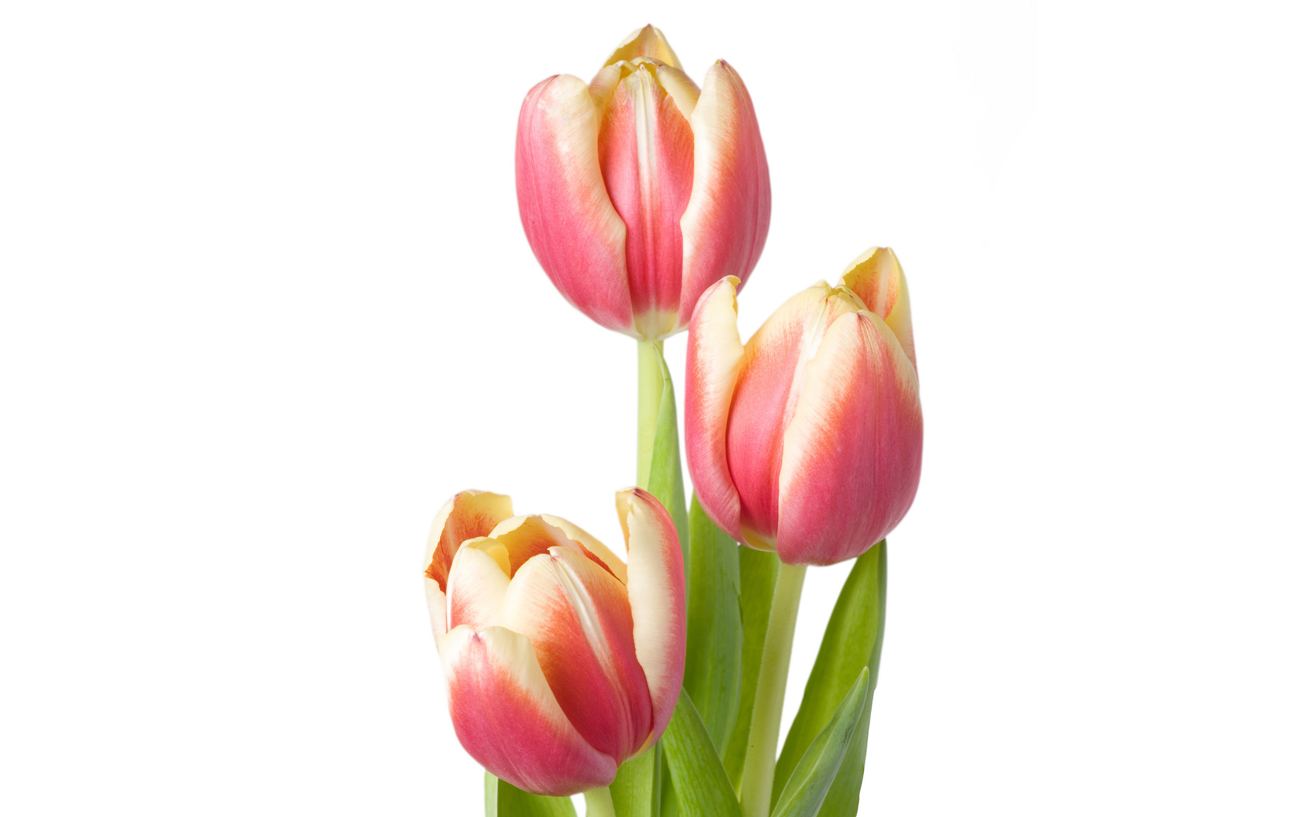 Large tulip photo 15021