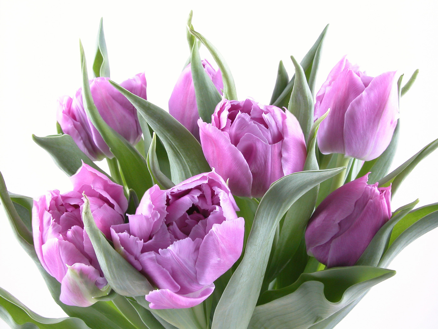 Purple tulips 30910