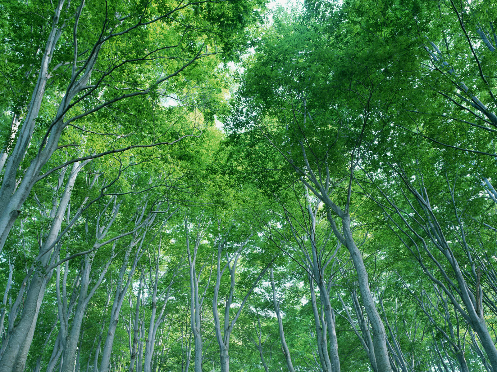 Forest trees 18304