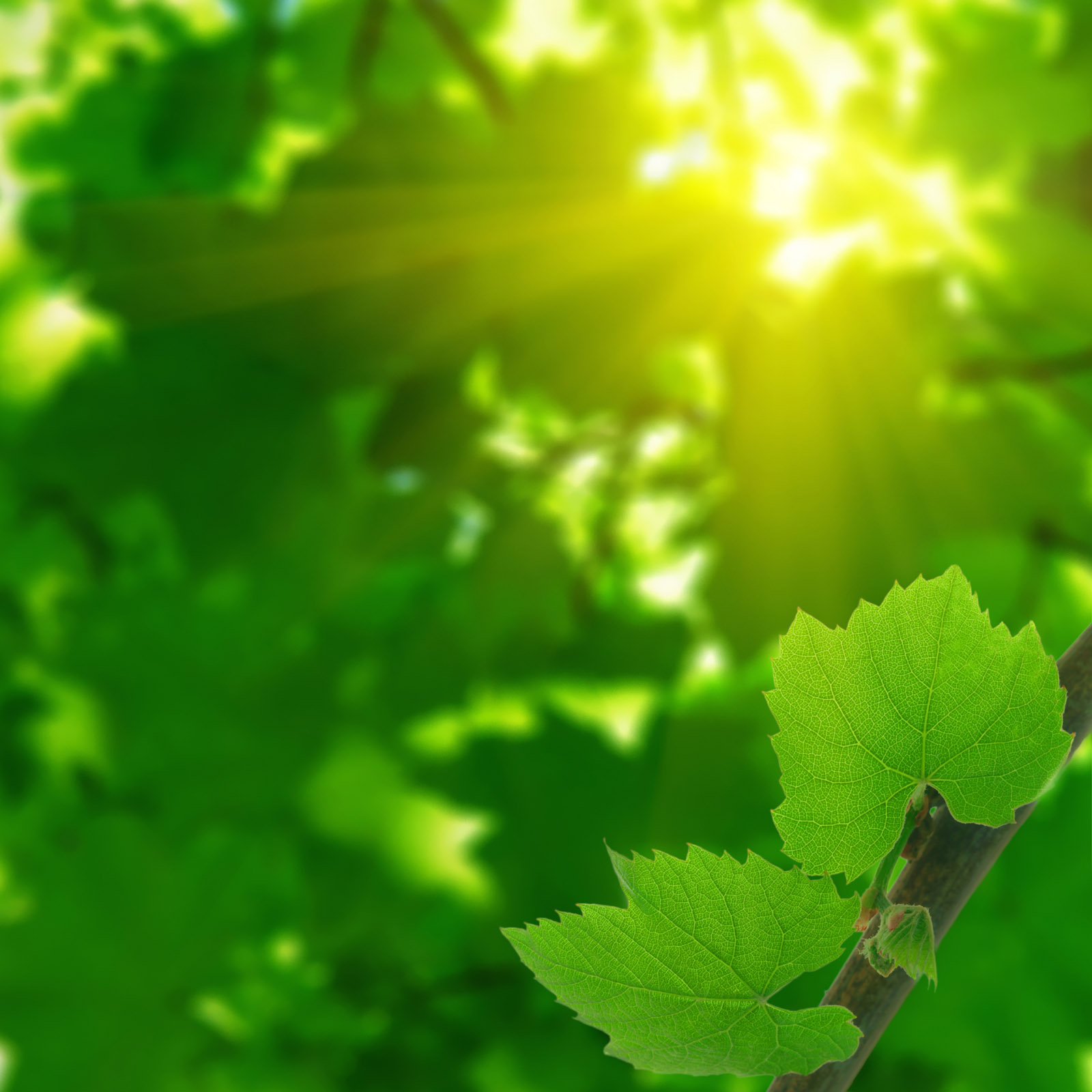 Sun leaves picture 20088