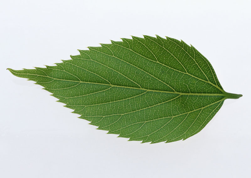Green leaves picture 20458