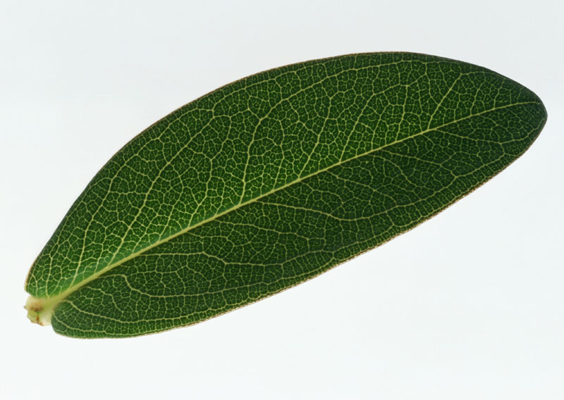 Green leaves picture 20497