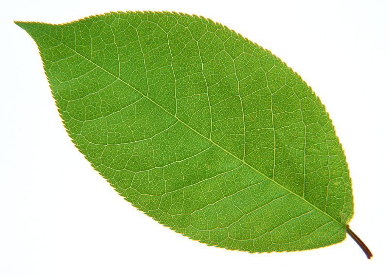 Green leaves picture 20650