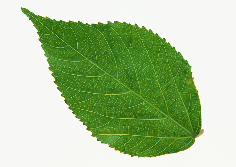 Green leaves picture 20726
