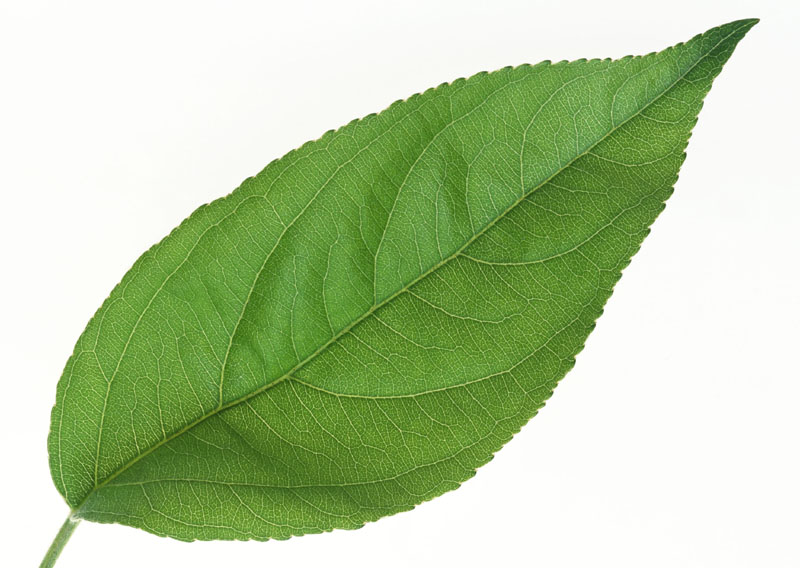 Green leaves picture 20877