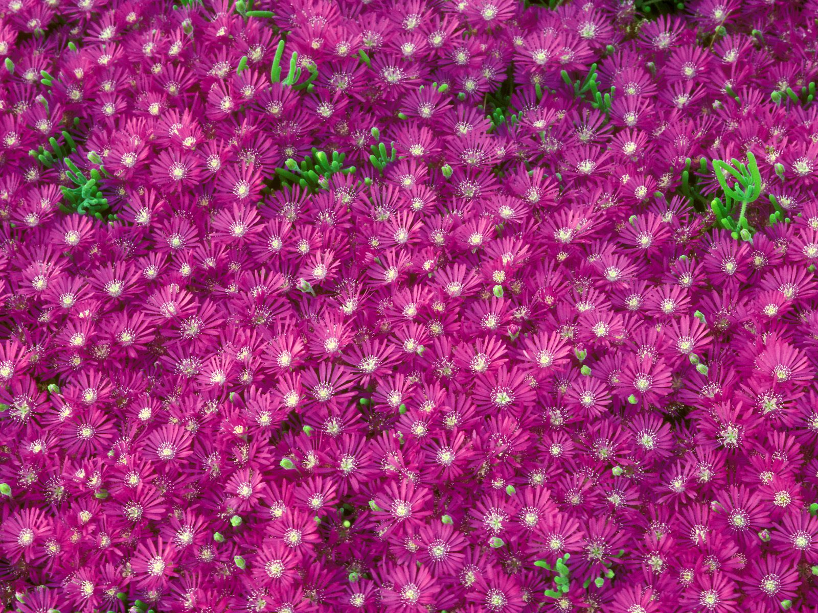 Webshots Wallpapers Flower papers 1805