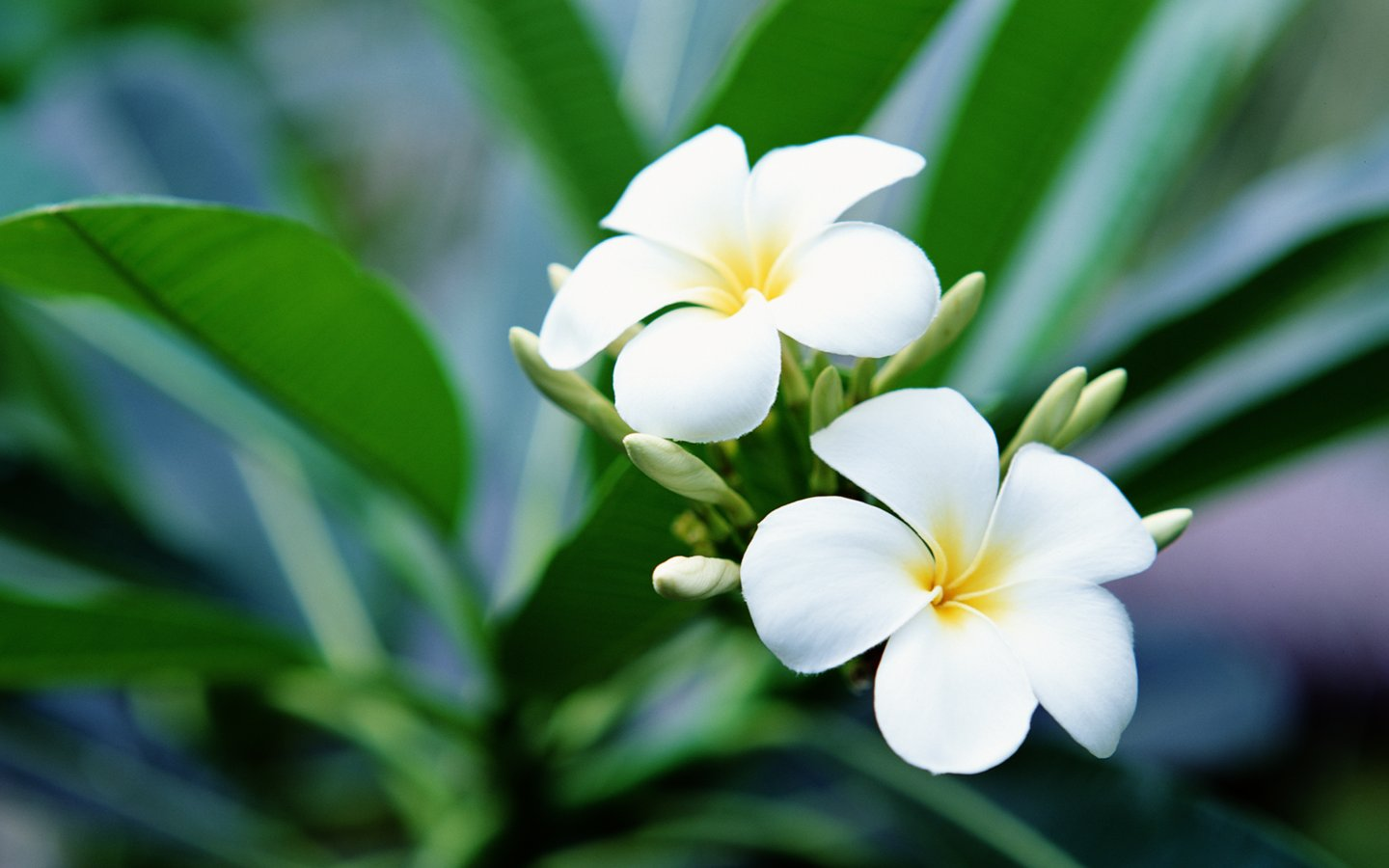 frangipani 27016 - flower wallpapers - flowers