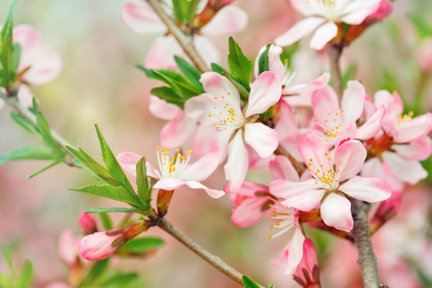 peach blossom 30693 - flower wallpapers - flowers