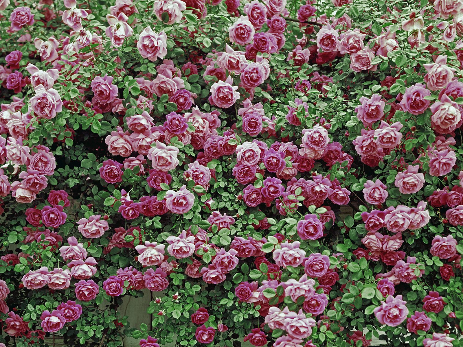 Webshots Wallpapers Flower papers 5770