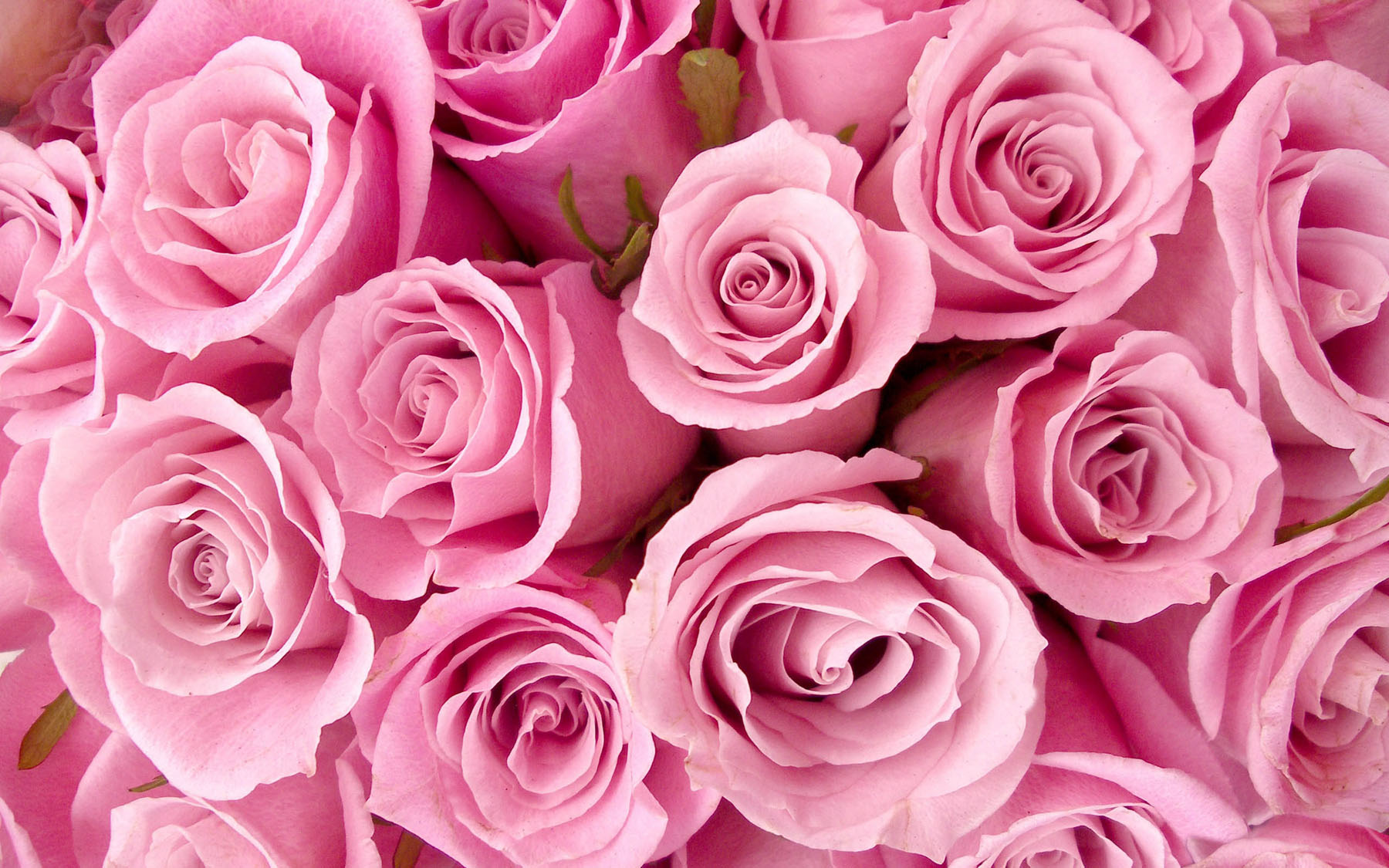 High-resolution photo roses 24965