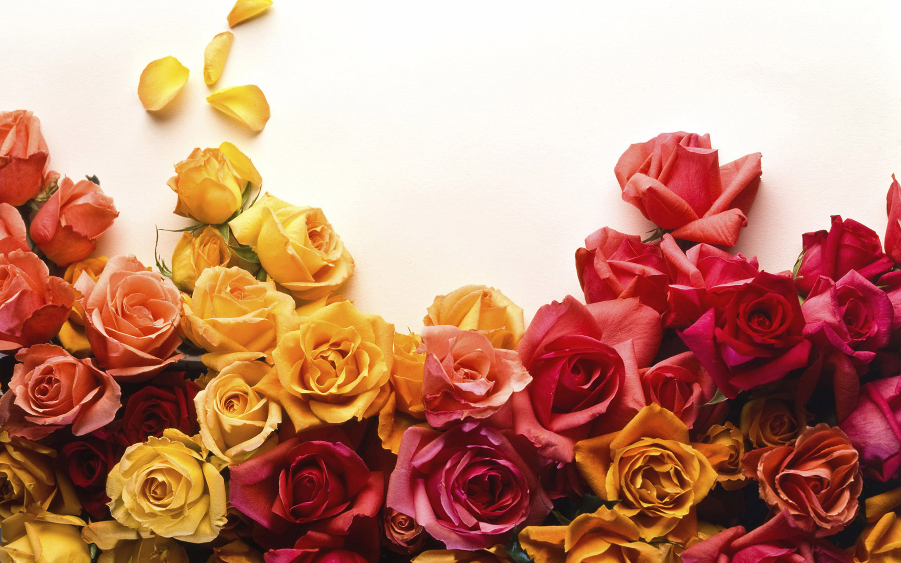 High-resolution photo roses 25105