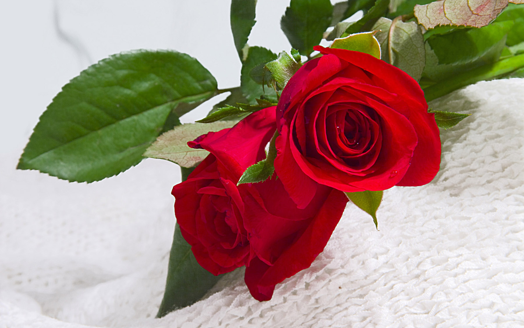 High-resolution photo roses 25238