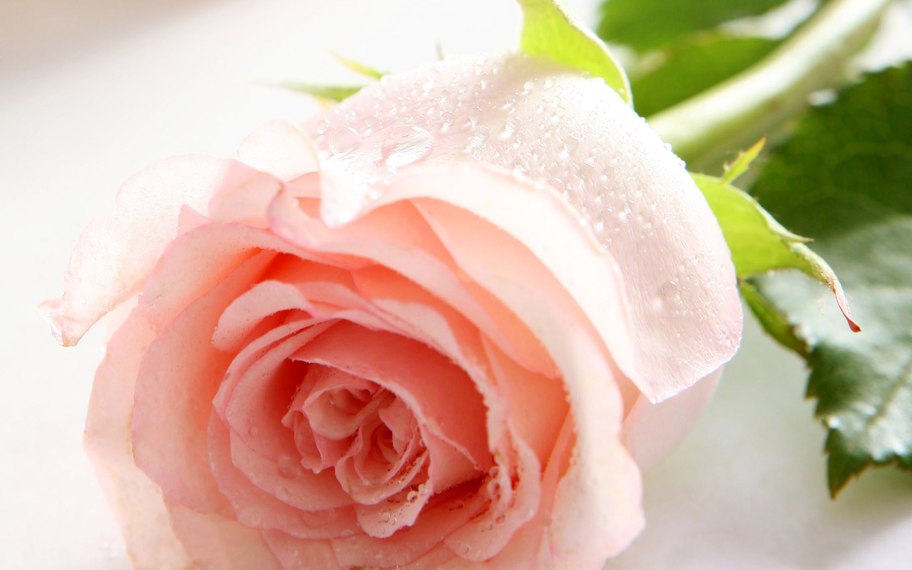 High-resolution photo roses 25254