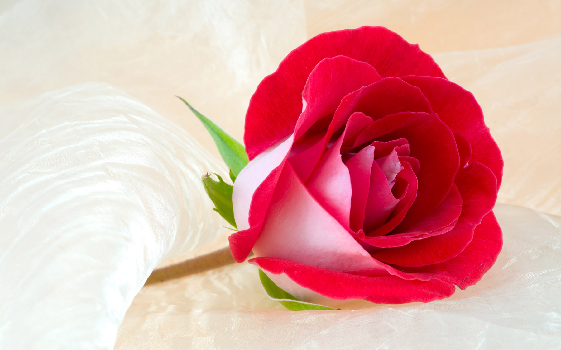 High-resolution photo roses 25334