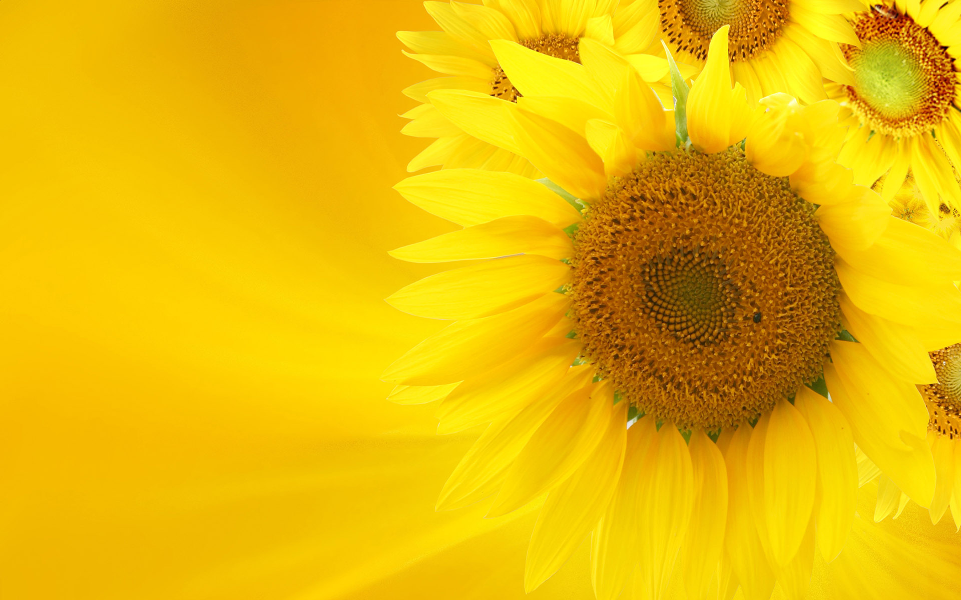 Sunflower close-up 12132