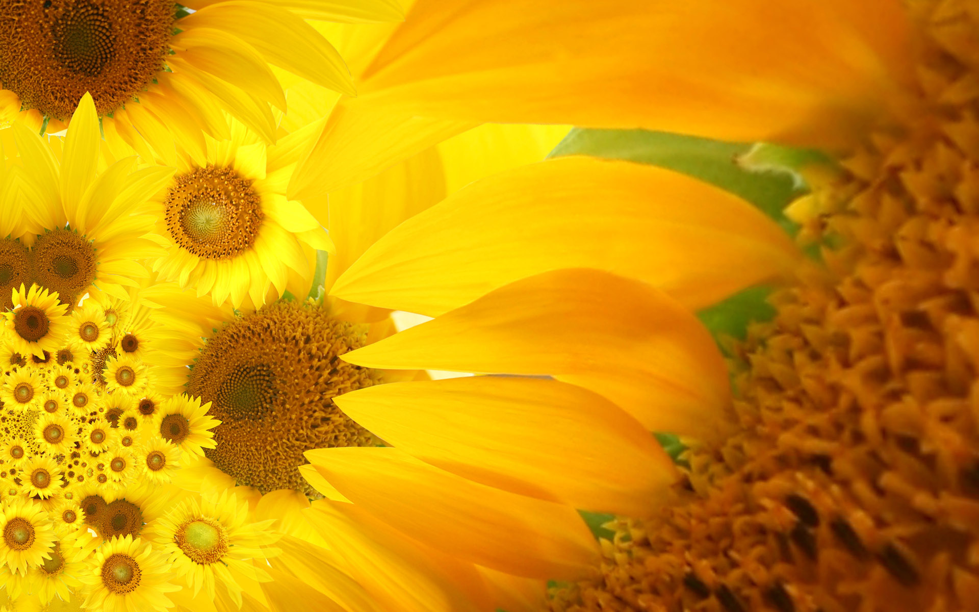 Sunflower close-up 12305