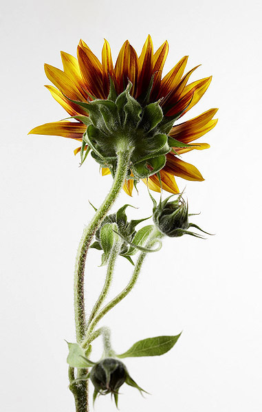 Sunflower Picture 12726