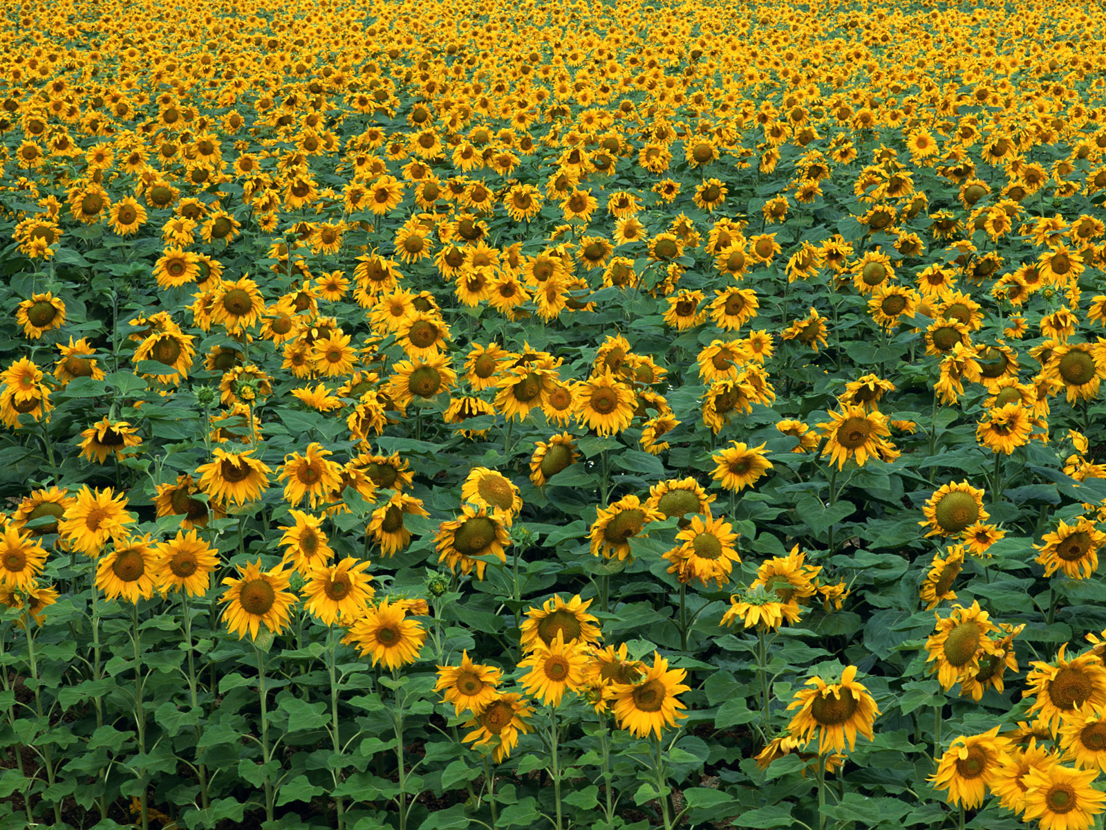 Sunflower Photo 3600