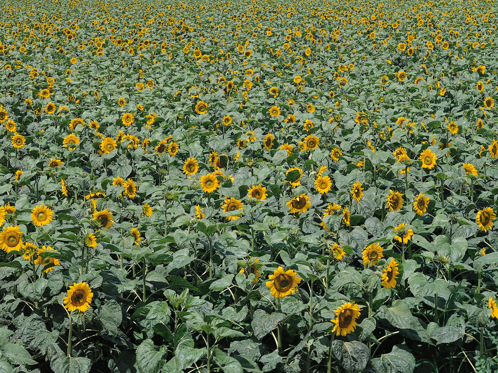 Sunflower Photo 4630