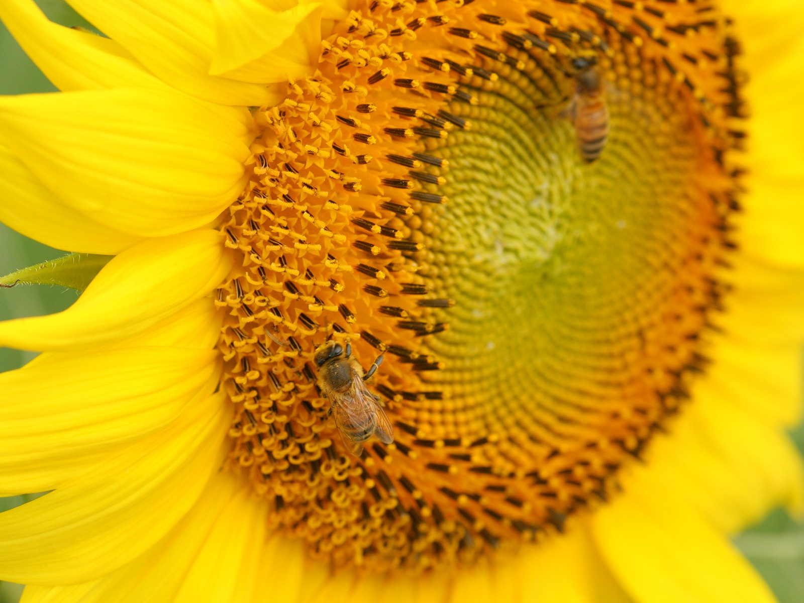 Sunflower Photo 6836